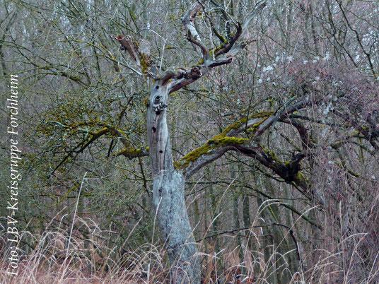 Alter Baum mit Spechthöhlen (Foto: Ute Wild)