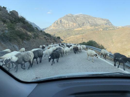 Griechenland, Kreta, Sehenswürdigkeit, Reisebericht, highlight, Urlaub, Plakias, Schaf, Schafherde, Blockade