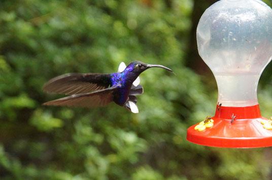 Der Kolibri spielt im Flug.