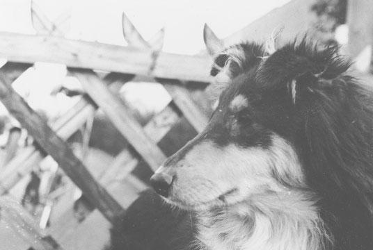 Ein junger Collie in Schwarz-Weiß