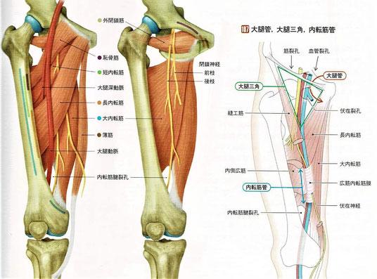 大腿管、大腿三角、内転筋管