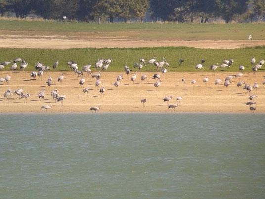 Environ 2500 Grues cendrées au Lac du Der le 30 septembre 2015