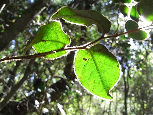 自己認識の木 ブラックバークの葉