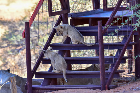 Die Löwenfamilie am Spielen auf den Stufen der benachbarten Hütten-Terrasse