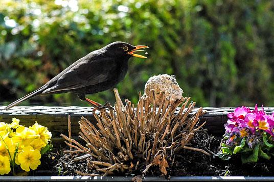 Eine Amsel sitzt auf einem  Balkonkasen und pickt Futter von einem Meisenknödel.