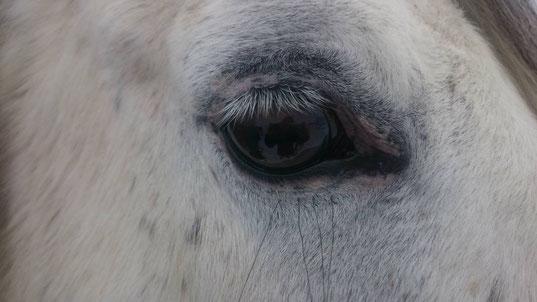 Kupferbrille (rechtes Auge von Coco)
