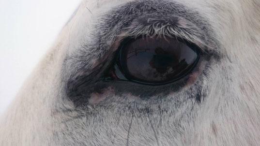 Kupferbrille (linkes Auge von Coco)