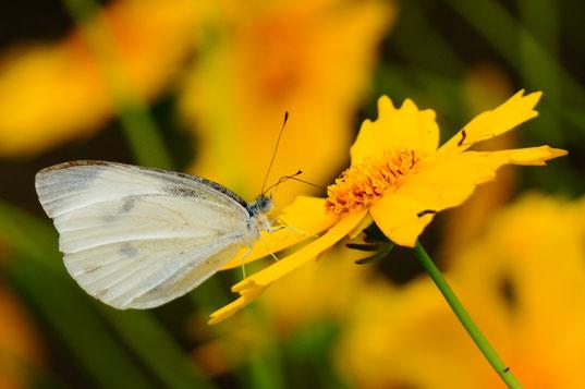蝶を撮るときは、あまり近づかず望遠レンズを使います。