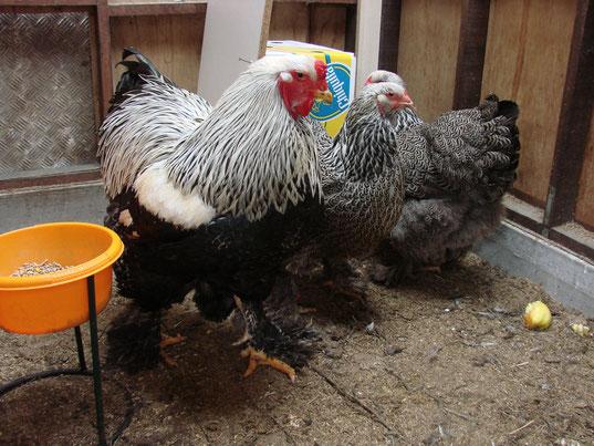 kweek trio 2013,waarvan ondertussen de haan en één kip plots gestorven zijn,in een periode van een maand?