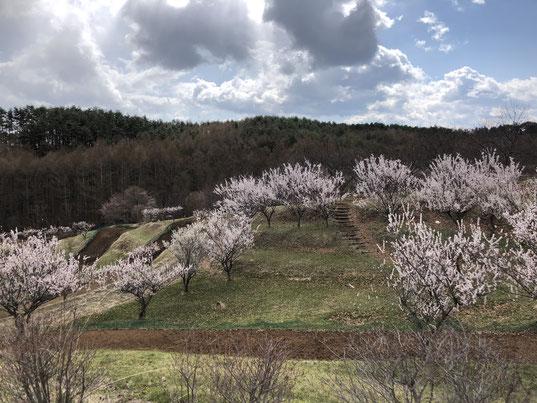 4月8日、旧浅科村のふるさとの森公園の梅林。