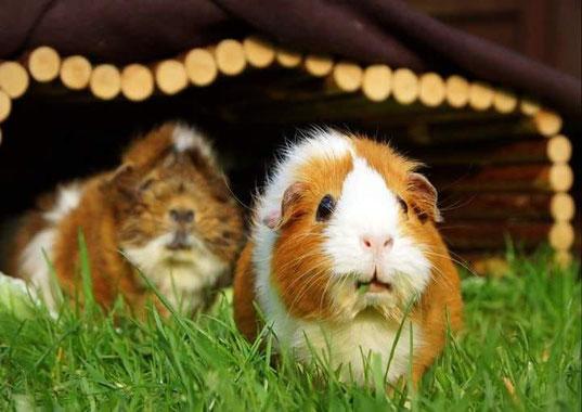 Hausmeerschweinchen beim Grasen. Vielen Dank an Viola Schulz von der Schweinebande.