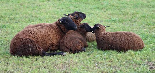 Schafhaltung, Schafzucht, Juraschafe