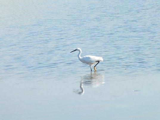 aigrette garzette dans l'étang d'Ingril