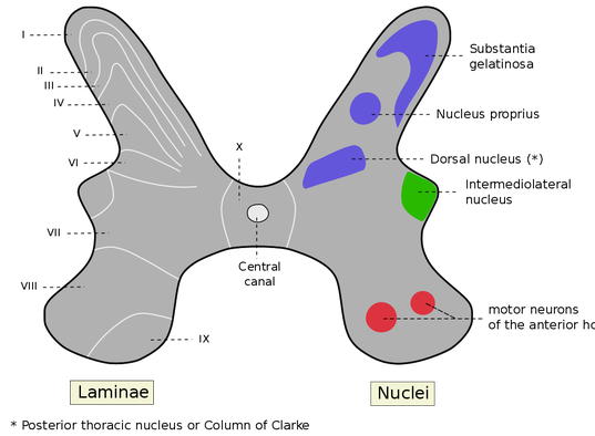 laminae and nuclei of the spinal cord