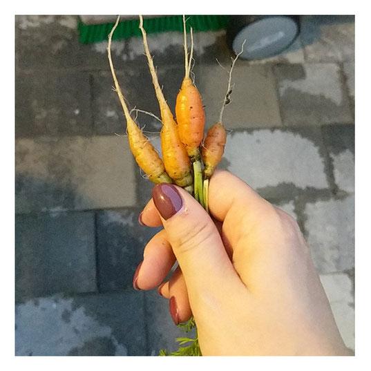 Ernte Möhren Karotten