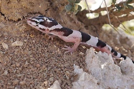 Leopardgecko Sand fressen Iran Zagros