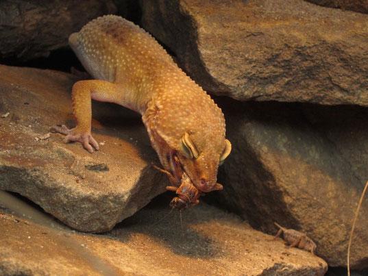 Leopardgecko frisst Grille auf Stein