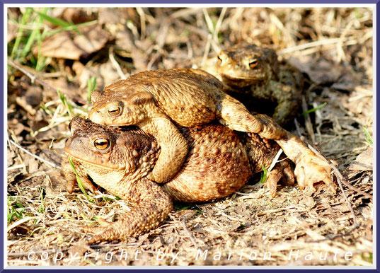 Erdkröten (Bufo bufo), 17.03.2012, Land Brandenburg