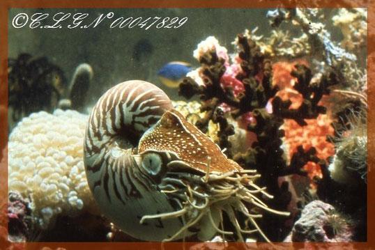 Et voilà un vrai             Nautilus vivznt dans les fonds sous-rins de la Nouvelle-Calédonie.....