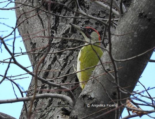 Grünspecht (Picus viridis)  © Mag. Angelika Ficenc