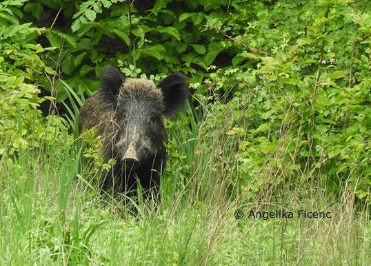 Wildschwein © Mag. Angelika Ficenc