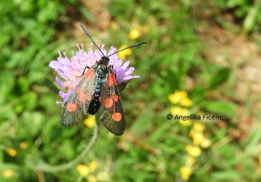 Kleines Fünffleckwidderchen (Zygaena viciae)  © Mag. Angelika Ficenc