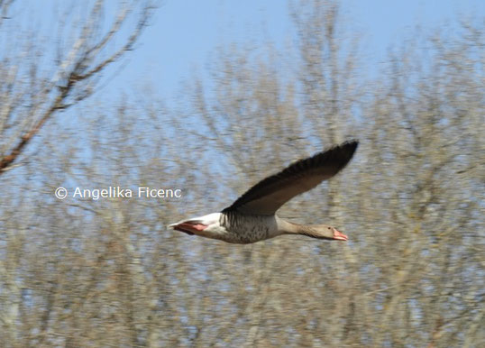 Fliegende Graugans  © Mag. Angelika Ficenc