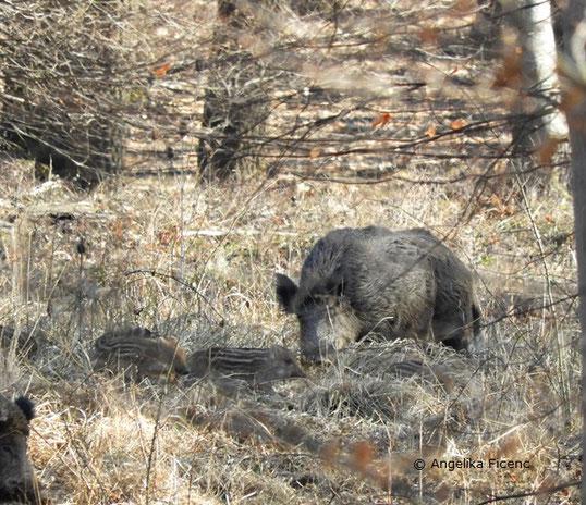 Wildschwein, Frischlinge,    © Mag. Angelika Ficenc