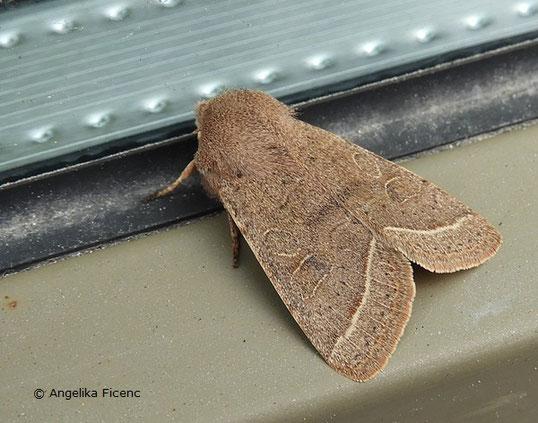 Rundflügel-Kätzcheneule (Orthosia  cerasi), © Mag. Angelika Ficenc