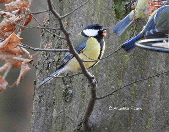 Kohlmeise mit Vogelpocken   © Mag. Angelika Ficenc