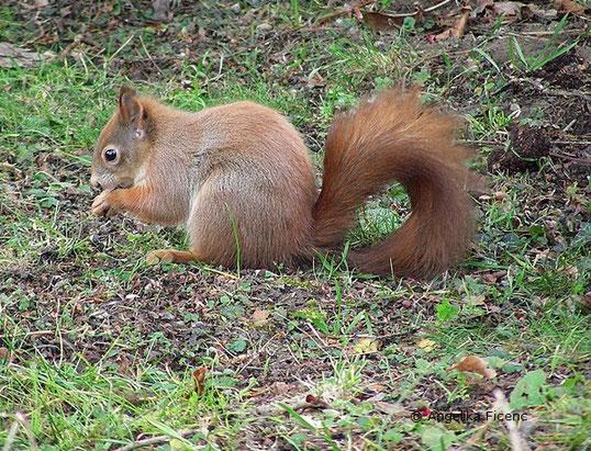 Europäisches Eichhörnchen, Sciurus vulgaris, Säugetier, Herbst, Tierportraits, tierspuren.at