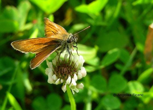 Braunkolbiger Braundickkopffalter (Thymelicus sylvestris),   © Mag. Angelika Ficenc