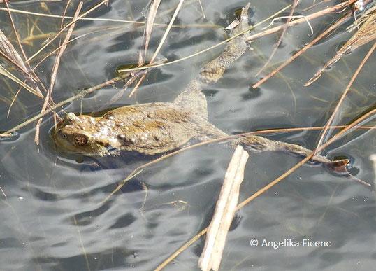 Erdkröte (Bufo bufo), Amphib, Kröte, Tierportraits, tierspuren.at    © Mag. Angelika Ficenc