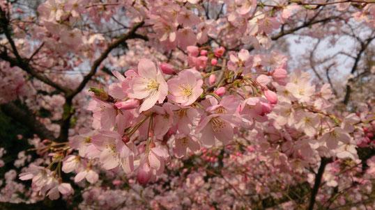 桜 神代植物公園 神代曙
