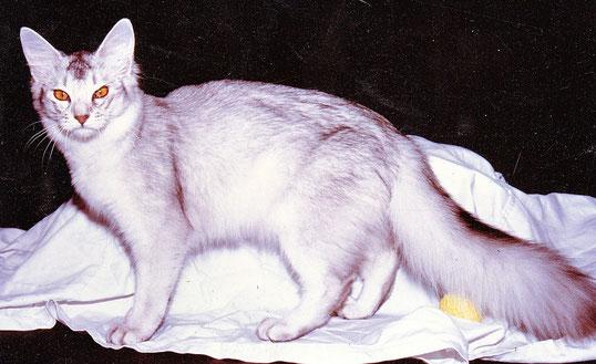 Somali black silver, Feli Feés Silver Ninivé, 90er Jahre, Besitzer: Gerhard Hövels,