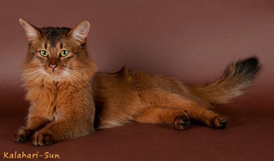 Somali-Katze  ♂ wildfarben, * 2009, Bildquelle: Cattery Kalahari-Sun