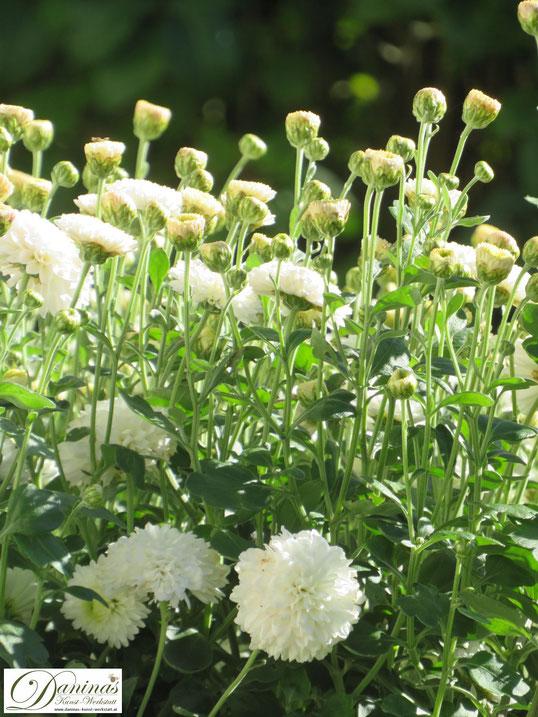 Herbst im Garten: Weiße Chrysanthemen bezaubern im Beet