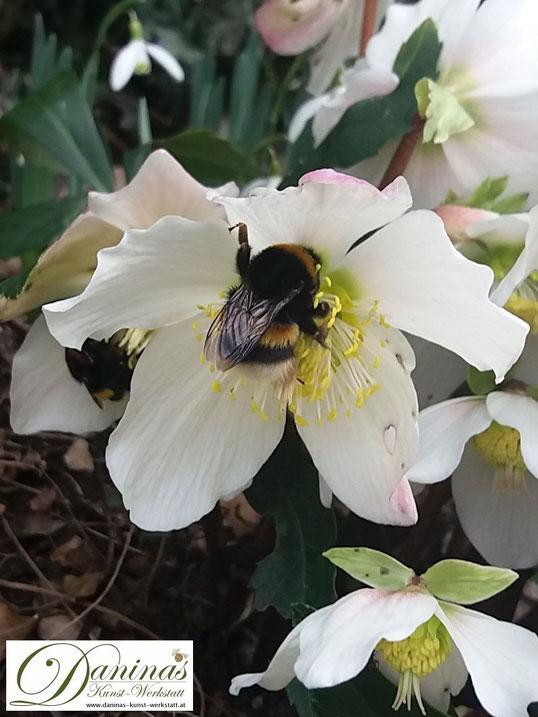 Schneerosen blühen bereits im Winter und sind ein Segen für die ersten nektarsuchenden Hummeln