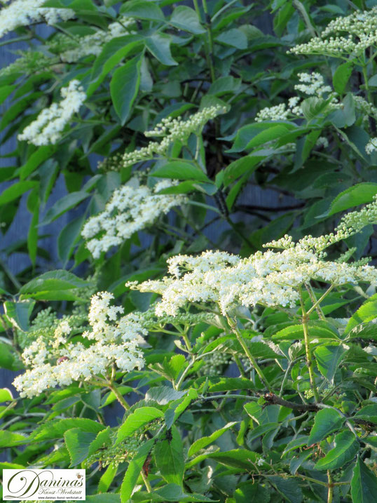 Frühling im Garten: Weiß blühender Holunderstrauch