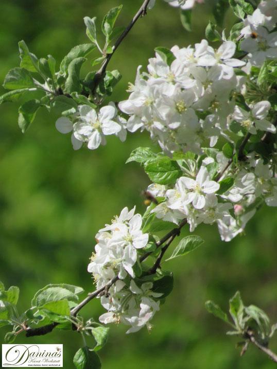 Die weißen Blüten des Zierapfelbaums sind eine Augen- und Bienenweide
