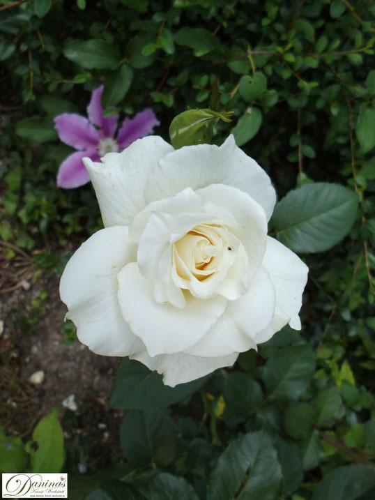 Weiße Rose im Garten vermittelt Reinheit, Unschuld und Vollkommenheit in Einem