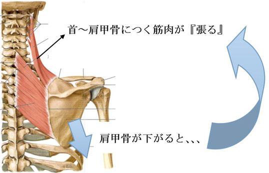 肩甲骨が下がると筋肉が張る