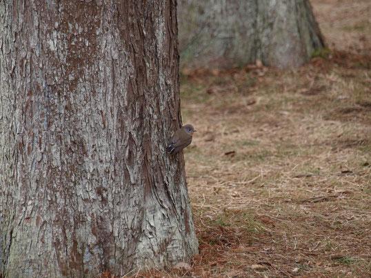 1月21日(2017) 大きな木に小さな鳥:ニシオジロビタキという珍しい鳥のようです。公園の中をあちこち飛びまわっていたのですが、近づいてきて、自転車にとまったのにはビックリしました。1月20日、武蔵野にある都立公園にて