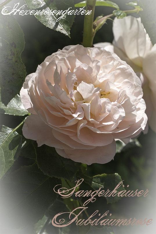Rosiger Adventskalender im Hexenrosengarten - Sangerhäuser Jubiläumsrose - Romantische Blüten in Beetrosen-Format