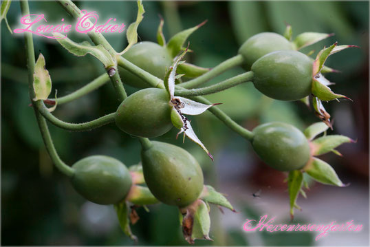 Rosen Rosenblog Hexenrosengarten Bourbonrose Margottin Louise Odier Duftrose Hagebutten Rosiger Adventskalender