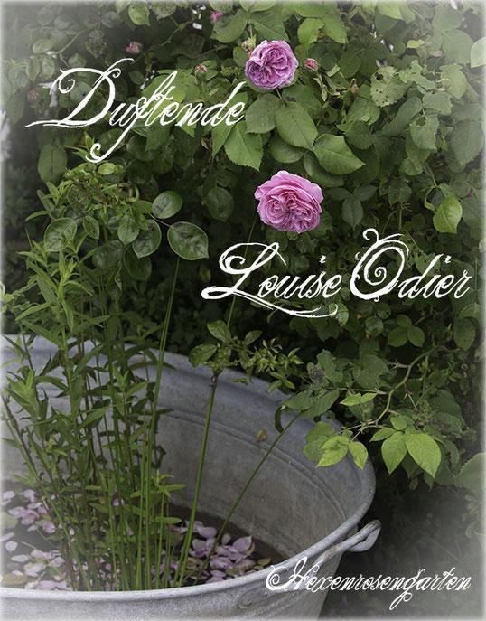 Rosen Hexenrosengarten Rosenblog Duftrosen Strauchrose Kletterrose Bourbonrose Louise Odier