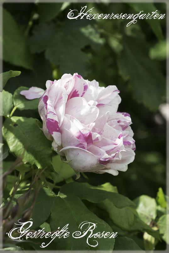 Rosen Rosenblog Hexenrosengarten Rosiger Adventskalender Gestreifte Rosen Bourbonrose Province Panachee