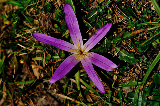 _DSC6910_colchique des Pyrénées ou safran des Pyrénées, Colchicum montanum-Liliacées
