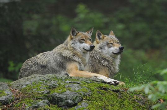 Trotz Rudelbildung lieben Wölfe Zweisamkeit. Die Partner leben meist ein Leben lang zusammen.   Bild: M. Waldhier/LBV-Archiv