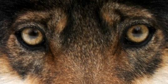 Wolf Amarok
